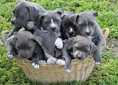 cute blue nose pitbull puppies