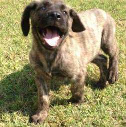 mastiff brindle puppy