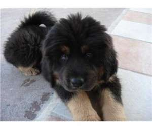 Cute Tibetan Mastiff Puppy