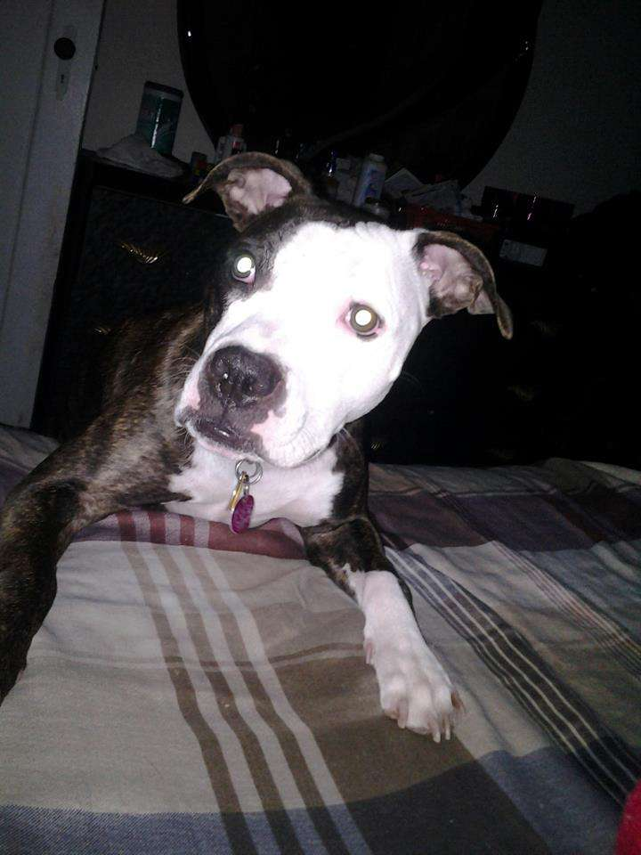 Is A Dogo Argentino A Pitbull Dogo Argentino Pictures