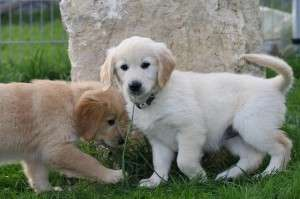 Golden Retriever Breeders California