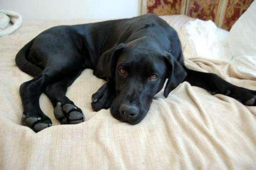 Labrador Retriever Health Problems, Labrador Retriever ...
