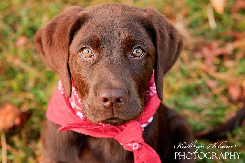 chocolate labrador rescue