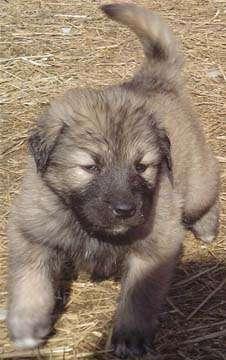 illyrian shepherd puppy