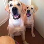 Yellow lab pictures