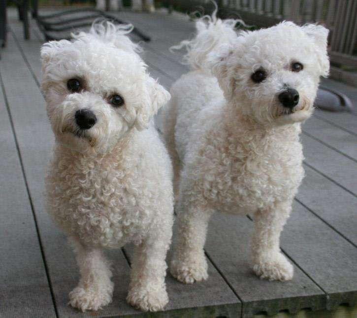 Breeding Small Dogs, Hybrid Dog Breeders