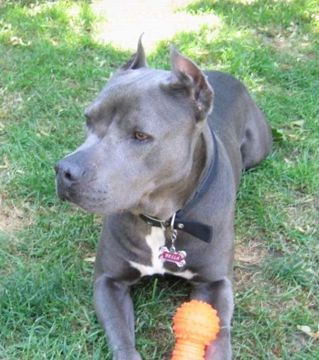 Cane Corso Pit Bull Mix, Cross Breeding Pit Bull's and ...