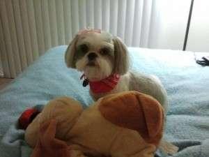 Shih Tzu adorable puppy