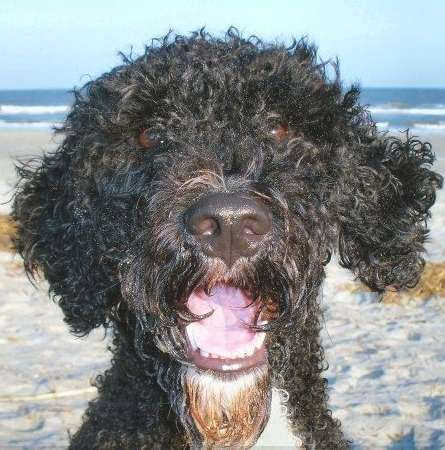 Portuguese Water Dog Breeders