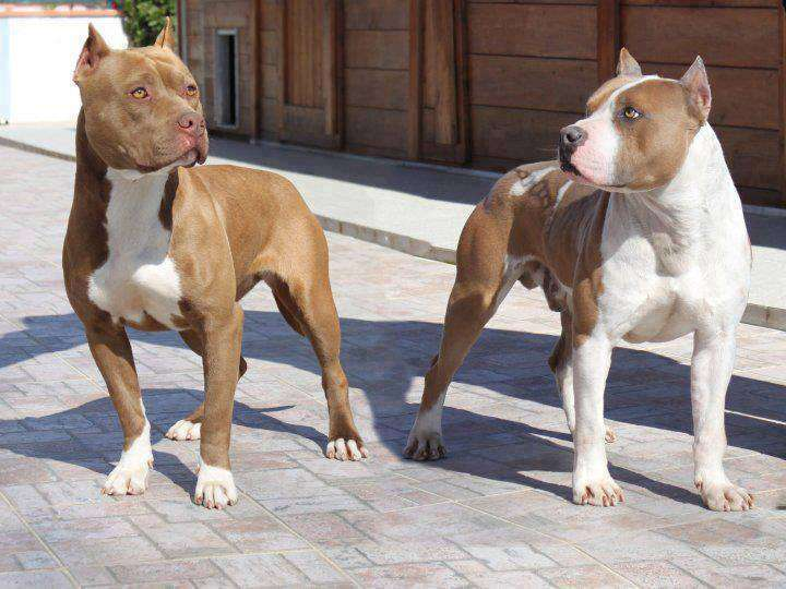 Staffordshire Terrier vs Pit Bull, Similarities and ...