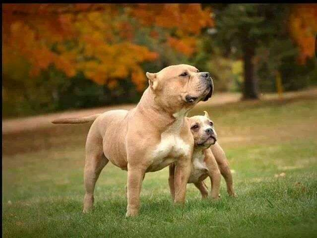 Staffordshire Terrier vs Pit Bull, Similarities and Differences