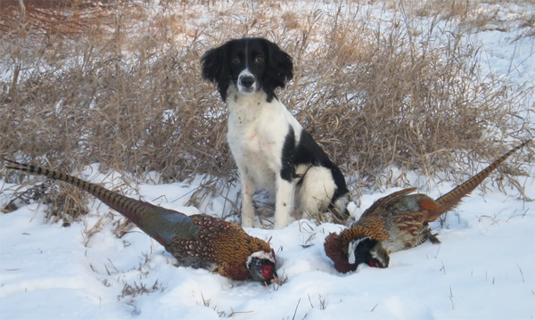 gun dog breeders