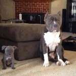 blue pit bull puppies