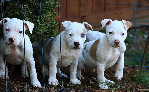 White Pit Bull Puppies Pictures Of White Pit Bull Puppies