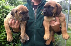 African Boerboel Puppies