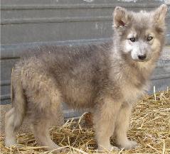 Wolfdog Breeds