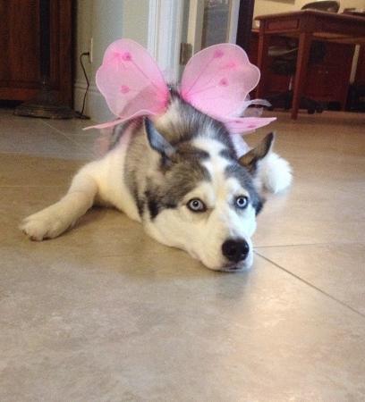 Pretty Husky