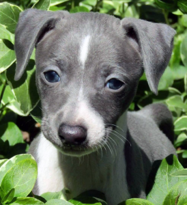 best puppy food for Italian Greyhounds