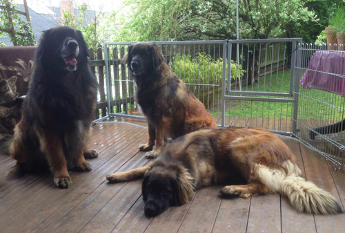 Leonberger Breeders