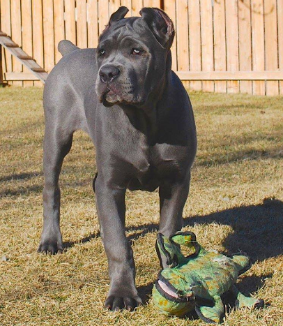 Cane Corso Dog Training