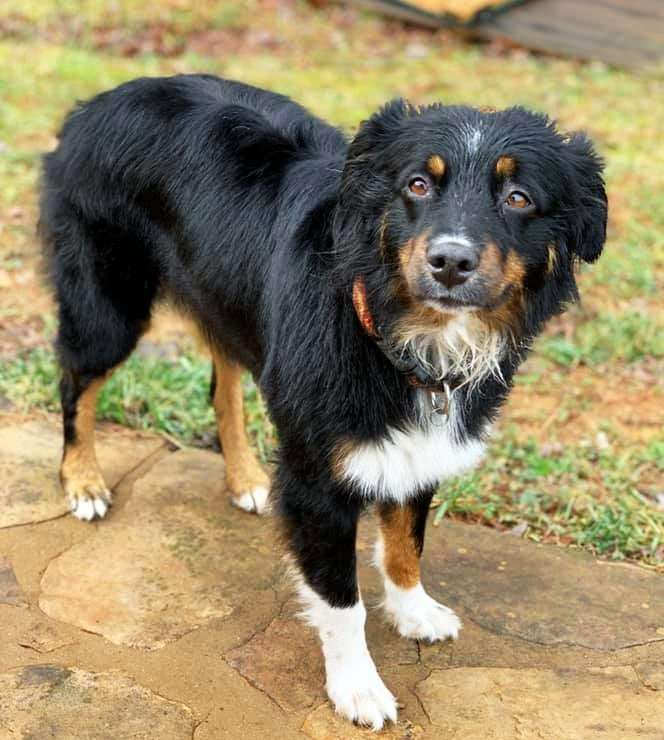 Full Grown Australian Shepherd picture