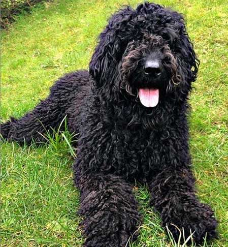 black labradoodle pictures