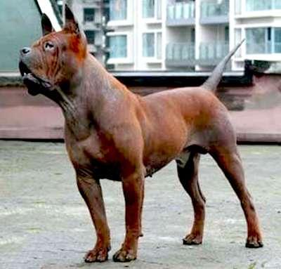 Chongqing Bulldog