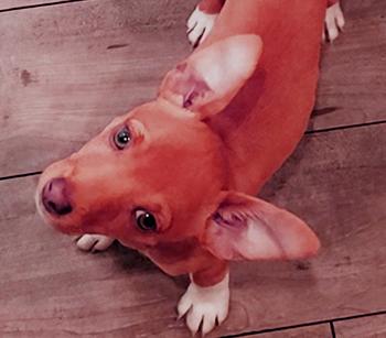 Basenji Chihuahua mix