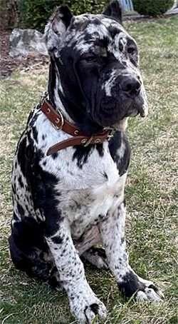 Neo Corso Alapaha Mixed Dog
