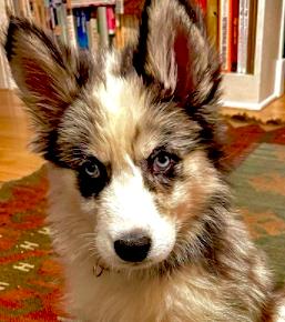 Aussie Husky