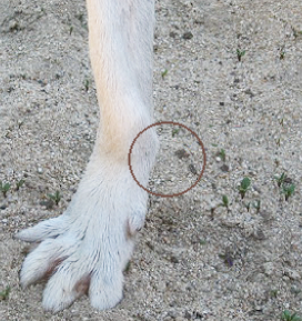 Dog Osteosarcoma Signs