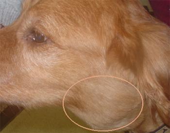 lymphoma signs dogs